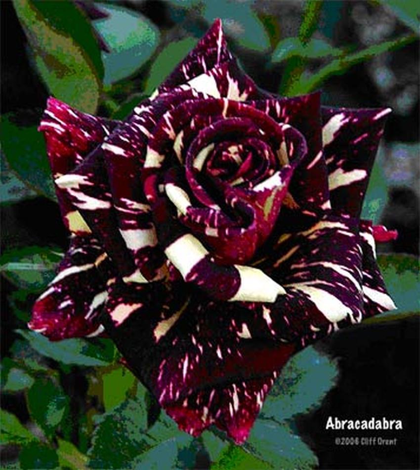 Rose Cespugliose